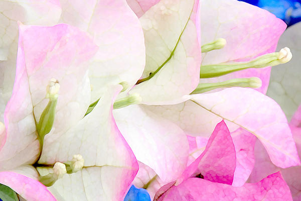 Bougainvillea With Blue
