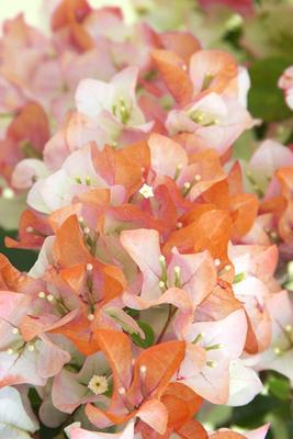 Bougainvillea in Apricot